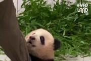 놀아달라 조르는 에버랜드 아기판다 '푸바오' 영상 화제